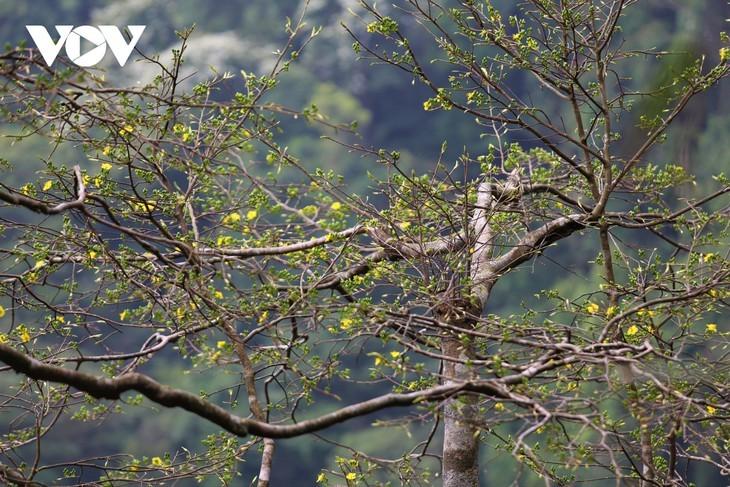 Yellow apricot blossoms in sacred Yen Tu mountain - ảnh 10