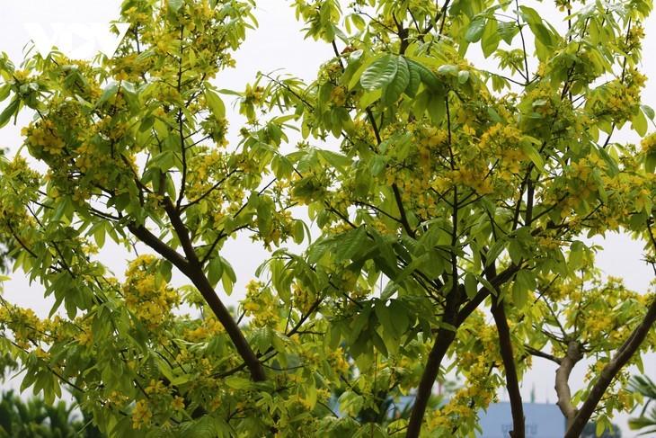 Yellow apricot blossoms in sacred Yen Tu mountain - ảnh 1