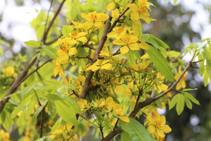 Yellow apricot blossoms in sacred Yen Tu mountain - ảnh 2