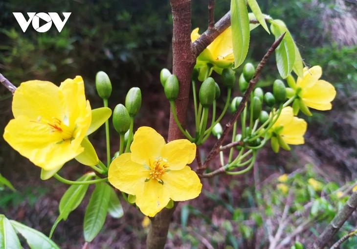 Yellow apricot blossoms in sacred Yen Tu mountain - ảnh 5