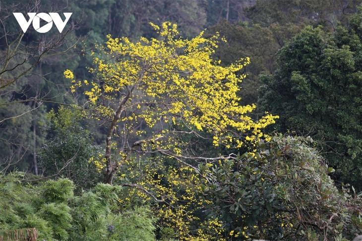 Yellow apricot blossoms in sacred Yen Tu mountain - ảnh 8