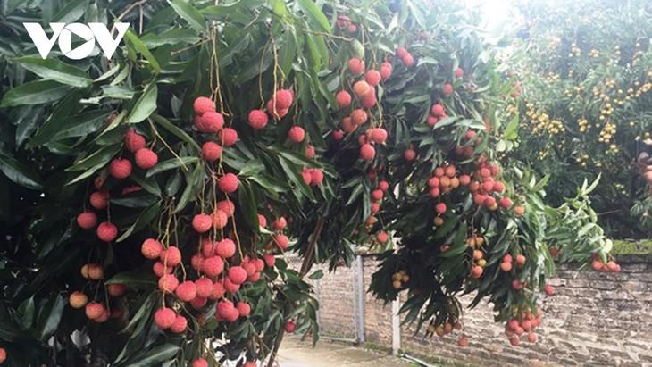 Online portal sells Bac Giang lychees - ảnh 1