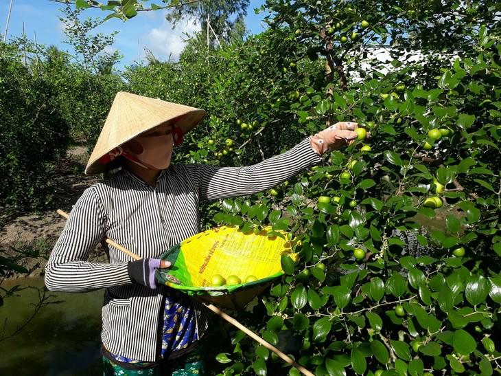Soc Trang enjoys bumper crop, high price of red-fleshed apples - ảnh 1
