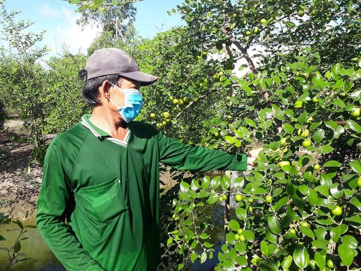 Soc Trang enjoys bumper crop, high price of red-fleshed apples - ảnh 2
