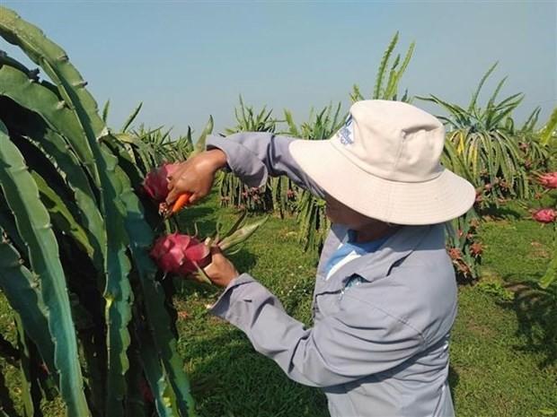 Binh Thuan dragon fruit receives Japan's PGI - ảnh 1