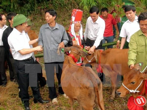 Des bœufs reproducteurs aux foyers pauvres de Hà Giang - ảnh 1