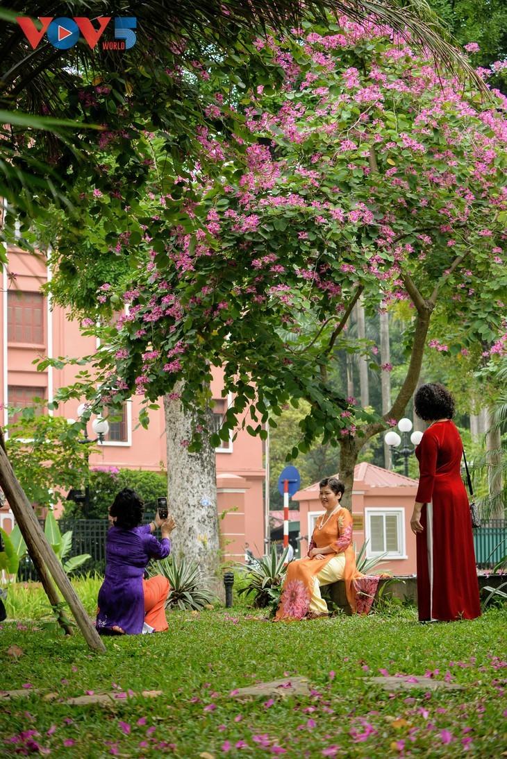 Les bauhinies du Nord-Ouest éclosent à Hanoi - ảnh 11
