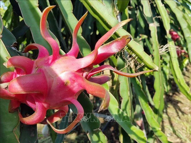Presentan fruta de dragón vietnamita de pulpa roja en Australia - ảnh 1