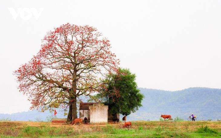 El árbol de algodón de seda roja a la orilla del río Thuong, fuente de inspiración de artistas - ảnh 1