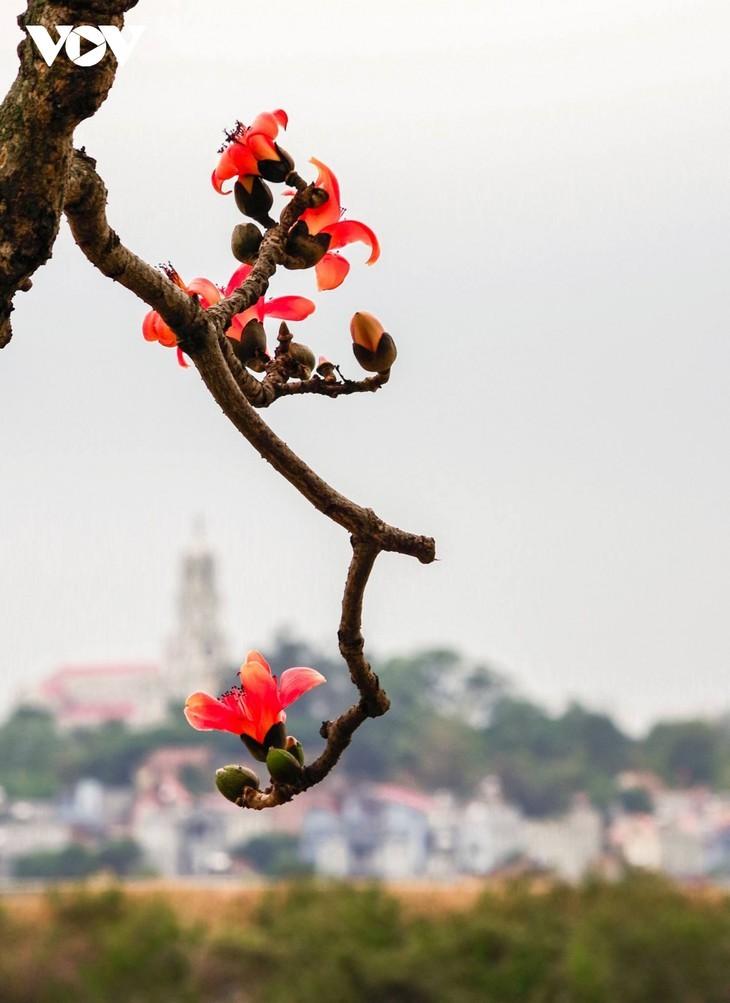 El árbol de algodón de seda roja a la orilla del río Thuong, fuente de inspiración de artistas - ảnh 3