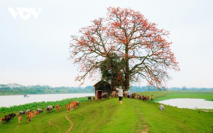 El árbol de algodón de seda roja a la orilla del río Thuong, fuente de inspiración de artistas - ảnh 4