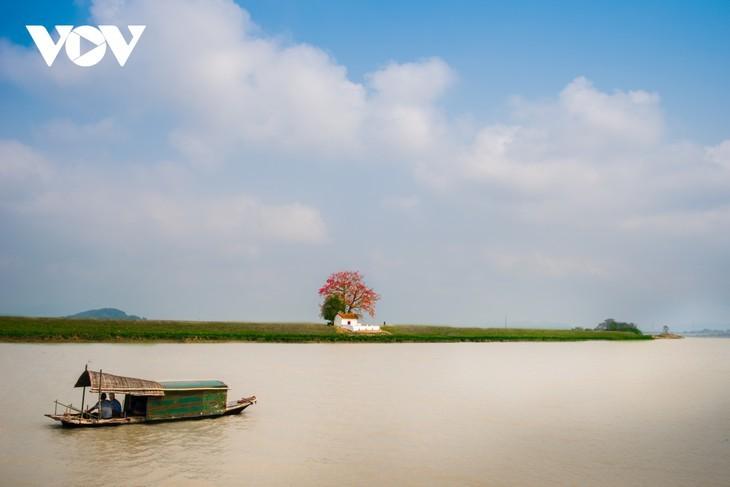 El árbol de algodón de seda roja a la orilla del río Thuong, fuente de inspiración de artistas - ảnh 6