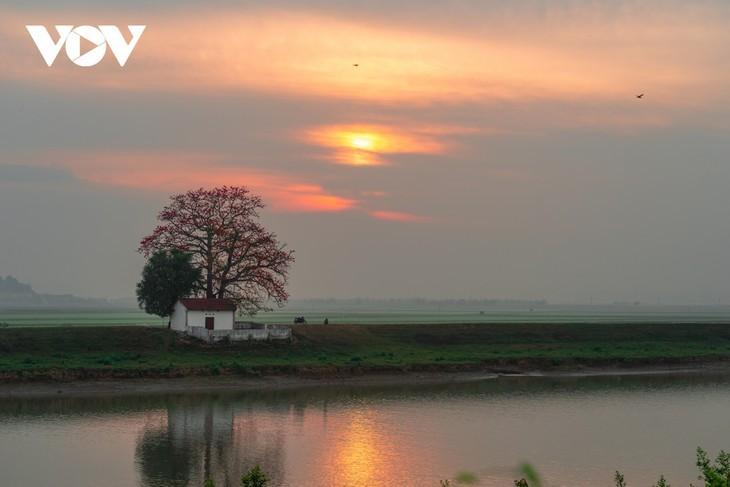 El árbol de algodón de seda roja a la orilla del río Thuong, fuente de inspiración de artistas - ảnh 7