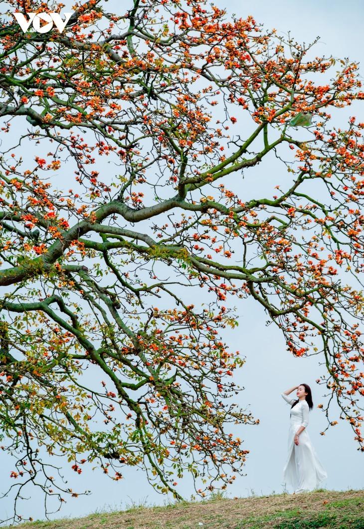 El árbol de algodón de seda roja a la orilla del río Thuong, fuente de inspiración de artistas - ảnh 9