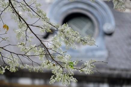 ハノイの槐の花 - ảnh 4
