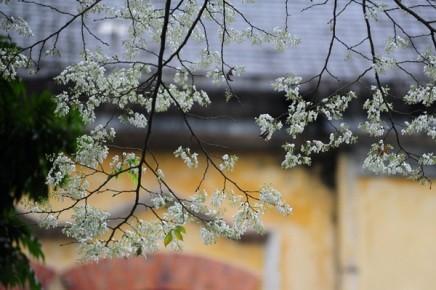 ハノイの槐の花 - ảnh 2