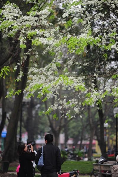 ハノイの槐の花 - ảnh 5
