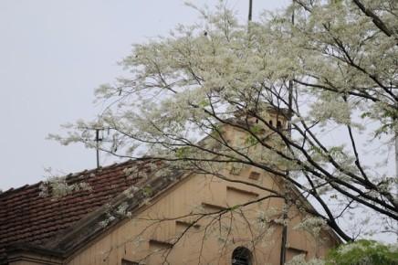 ハノイの槐の花 - ảnh 9