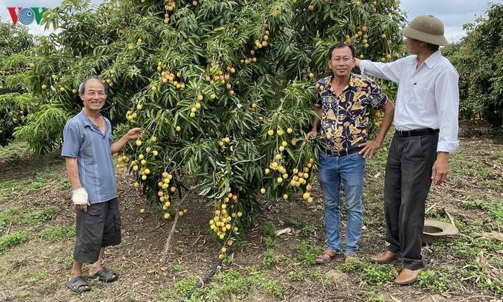 ベトナムのライチが各国に輸出される - ảnh 1