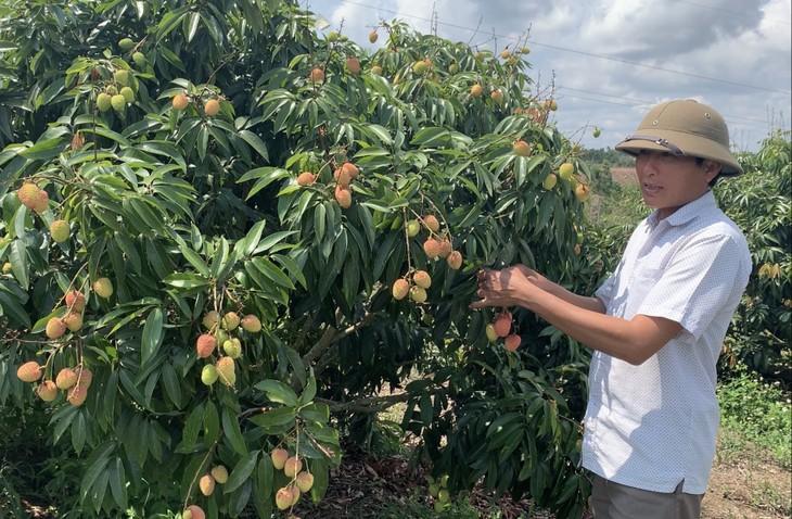 不毛な土地にライチ栽培、巨額の収益を得る - ảnh 1