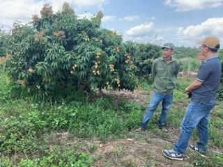 不毛な土地にライチ栽培、巨額の収益を得る - ảnh 2