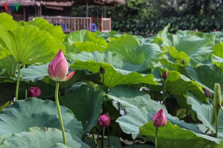 """Lạc vào """"khu vườn cổ tích"""" rực rỡ sắc hồng tường vi ở Hà Nội - ảnh 12"""