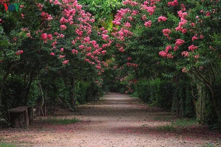 """Lạc vào """"khu vườn cổ tích"""" rực rỡ sắc hồng tường vi ở Hà Nội - ảnh 2"""