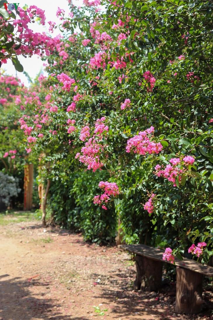 """Lạc vào """"khu vườn cổ tích"""" rực rỡ sắc hồng tường vi ở Hà Nội - ảnh 3"""