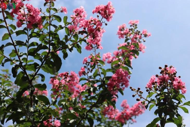 """Lạc vào """"khu vườn cổ tích"""" rực rỡ sắc hồng tường vi ở Hà Nội - ảnh 4"""
