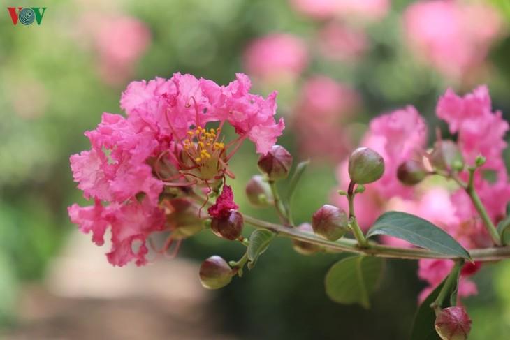 """Lạc vào """"khu vườn cổ tích"""" rực rỡ sắc hồng tường vi ở Hà Nội - ảnh 6"""