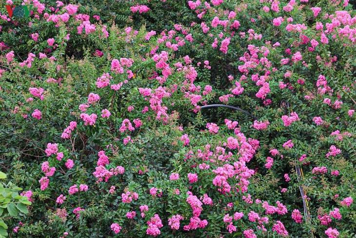 """Lạc vào """"khu vườn cổ tích"""" rực rỡ sắc hồng tường vi ở Hà Nội - ảnh 7"""