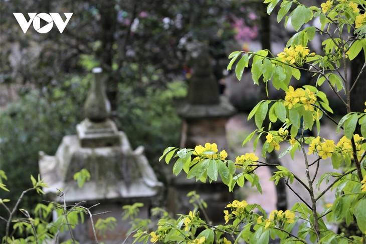 Mùa xuân lên núi thiêng, ngắm mai vàng Yên Tử - ảnh 12