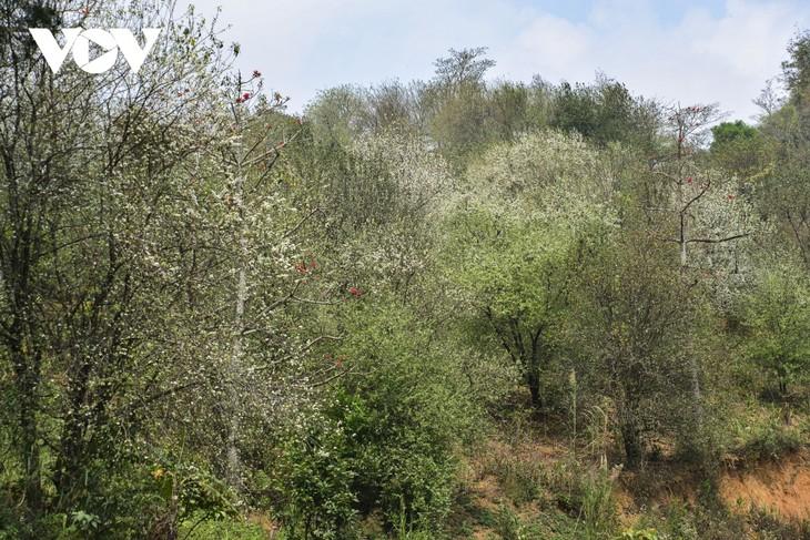Hoa Sơn Tra nở trắng trên đỉnh Pha Đin - ảnh 2