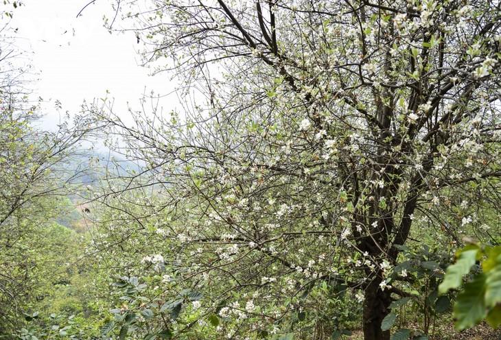 Hoa Sơn Tra nở trắng trên đỉnh Pha Đin - ảnh 3