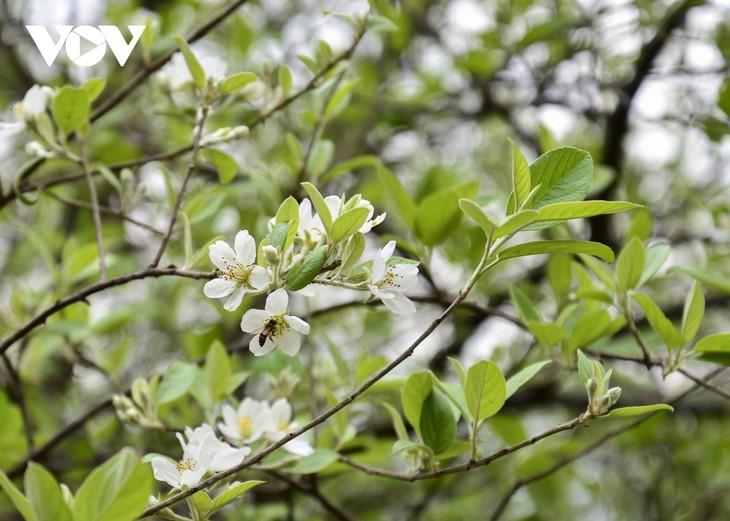 Hoa Sơn Tra nở trắng trên đỉnh Pha Đin - ảnh 4