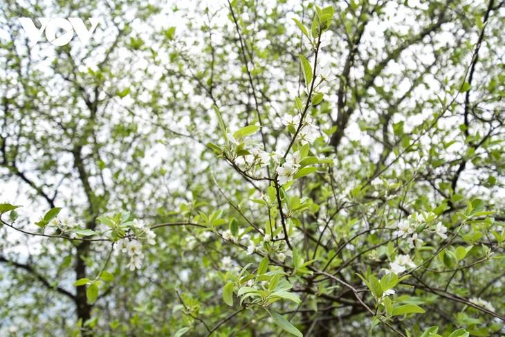 Hoa Sơn Tra nở trắng trên đỉnh Pha Đin - ảnh 5