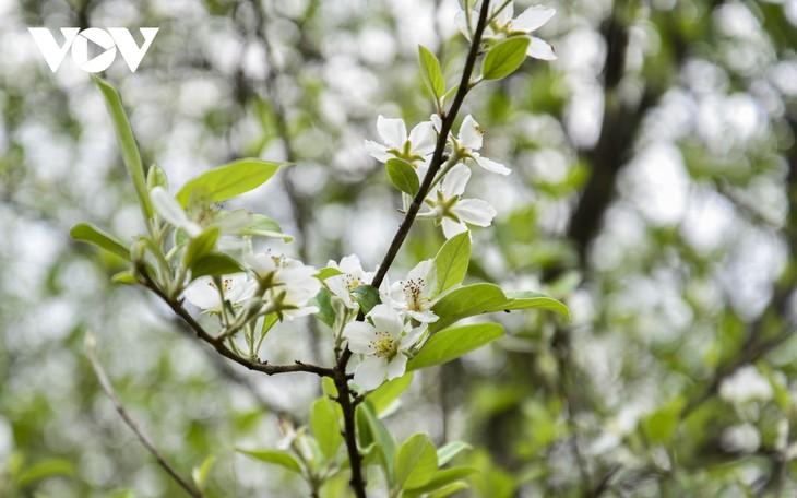 Hoa Sơn Tra nở trắng trên đỉnh Pha Đin - ảnh 6