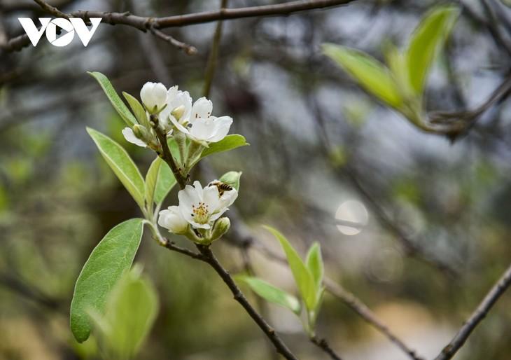 Hoa Sơn Tra nở trắng trên đỉnh Pha Đin - ảnh 8