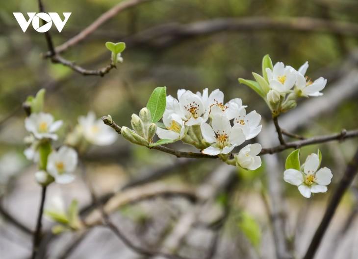 Hoa Sơn Tra nở trắng trên đỉnh Pha Đin - ảnh 9