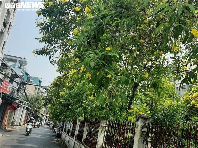 Hoa huỳnh liên vàng rực dưới nắng Sài Gòn - ảnh 4