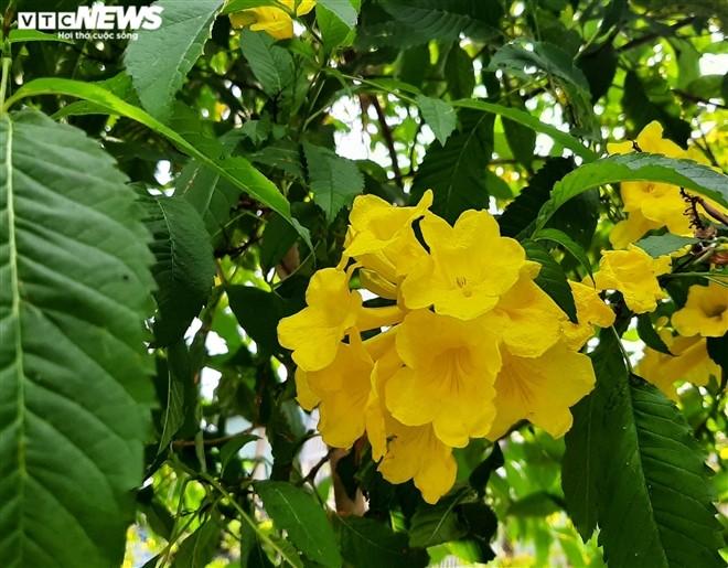 Hoa huỳnh liên vàng rực dưới nắng Sài Gòn - ảnh 5