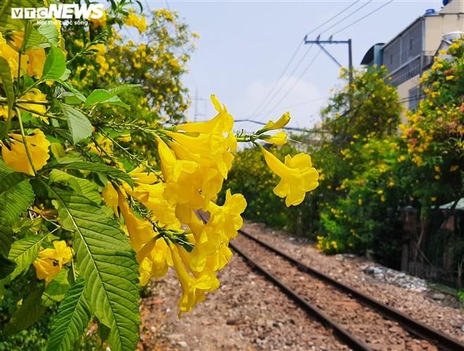 Hoa huỳnh liên vàng rực dưới nắng Sài Gòn - ảnh 3
