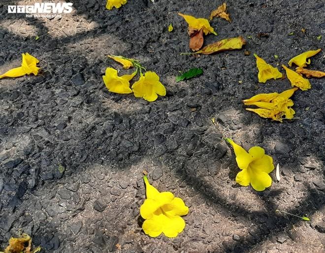 Hoa huỳnh liên vàng rực dưới nắng Sài Gòn - ảnh 6