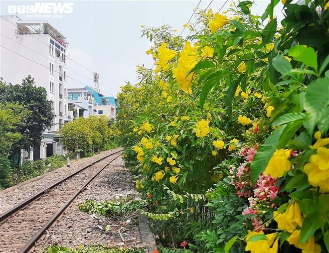 Hoa huỳnh liên vàng rực dưới nắng Sài Gòn - ảnh 2