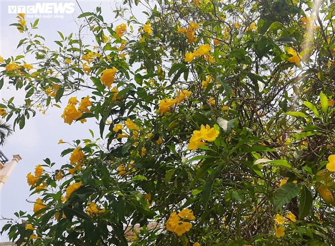 Hoa huỳnh liên vàng rực dưới nắng Sài Gòn - ảnh 7