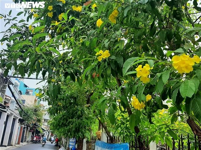 Hoa huỳnh liên vàng rực dưới nắng Sài Gòn - ảnh 9