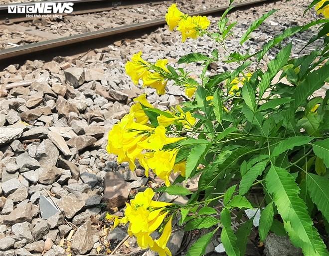 Hoa huỳnh liên vàng rực dưới nắng Sài Gòn - ảnh 8