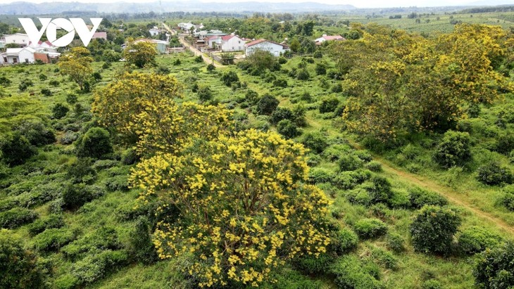 Sắc hoa vàng tuyệt đẹp trên cao nguyên  - ảnh 4