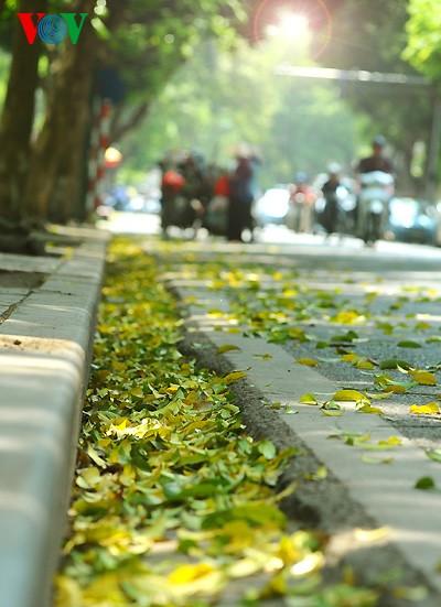 河内人面果树的夏季黄叶 - ảnh 1