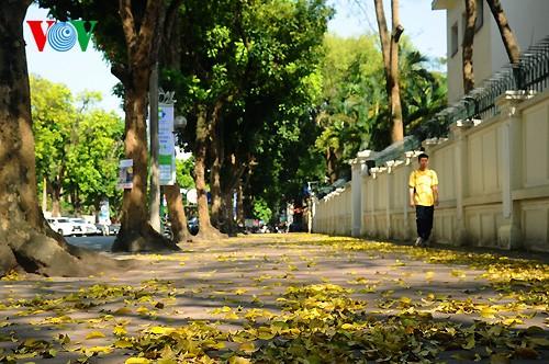 河内人面果树的夏季黄叶 - ảnh 2
